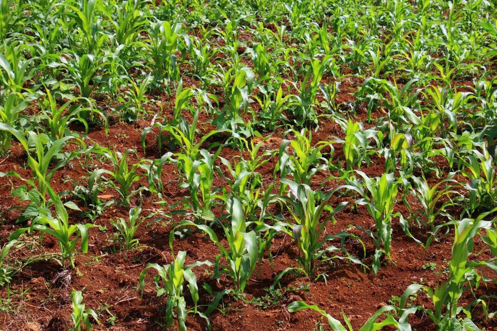 blog images/Climate Change in Londiani/Maize Picture one
